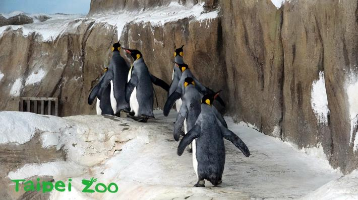 剛開始的幾圈,企鵝們還會安安份份的跟著「領頭鵝」向前進