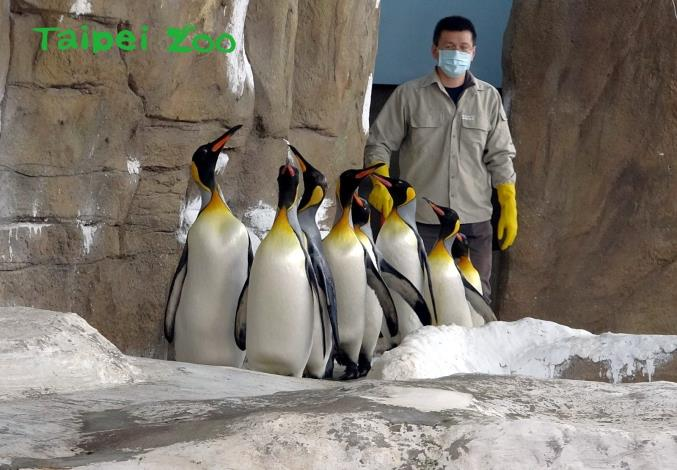 為了強化國王企鵝進入繁殖季的戰力,保育員每天早上都會帶著牠們,進行30分鐘的「晨走特訓」