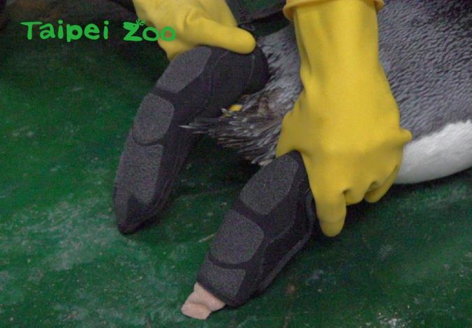 為國王企鵝特製防護鞋套,能完整包覆上藥的腳掌