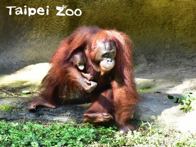 走~~來去臺北市立動物園逛「貨架上的雨林-猩猩超市」