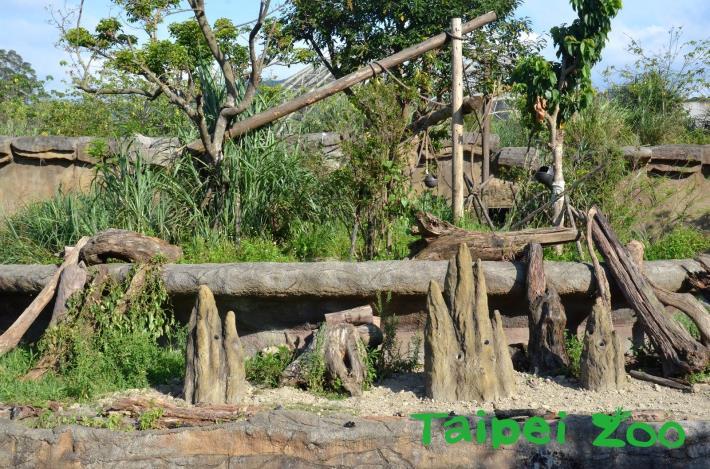 熱帶雨林區的大食蟻獸戶外活動場,出現了三座高聳的土丘