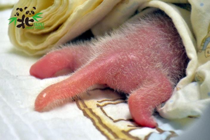 新生大貓熊寶寶粉嫩嫩的小尾巴(6月29日,出生第2天)