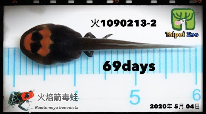 火焰箭毒蛙的蝌蚪(楊志平提供)