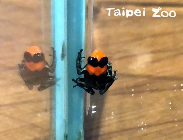 臺北動物園首次成功繁殖「火焰箭毒蛙」,外觀亮麗頗有塑膠感