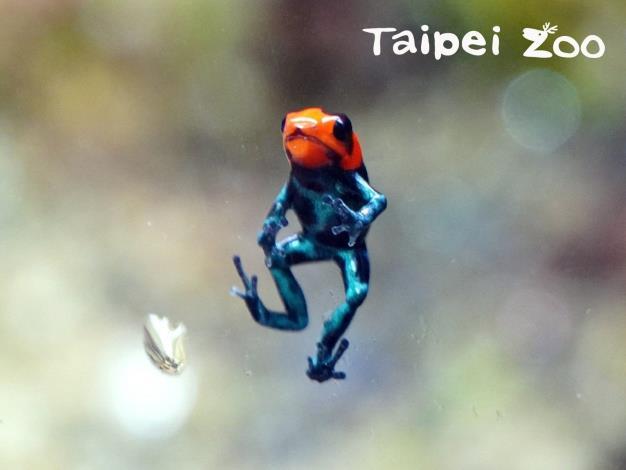 「火焰箭毒蛙」原產於南美洲秘魯中部的低地熱帶雨林區,個性較為膽小