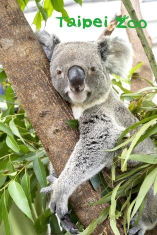 無尾熊是屬於對聲音比較敏感的動物,對環境變化反應也較大(「蒂蒂」)