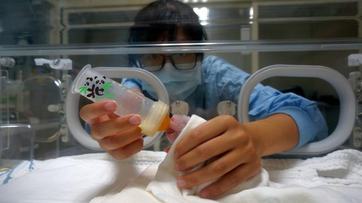 大貓熊新生寶寶,每天有專人伺候、吃飽睡、睡飽吃(7月2日,4日齡)