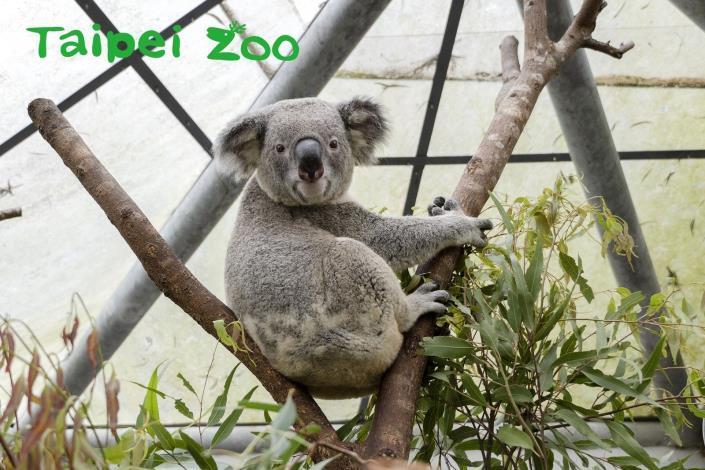 喜歡無尾熊的遊客們,記得到澳洲動物區和「奇奇」和「蒂蒂」打招呼(「琪琪」)