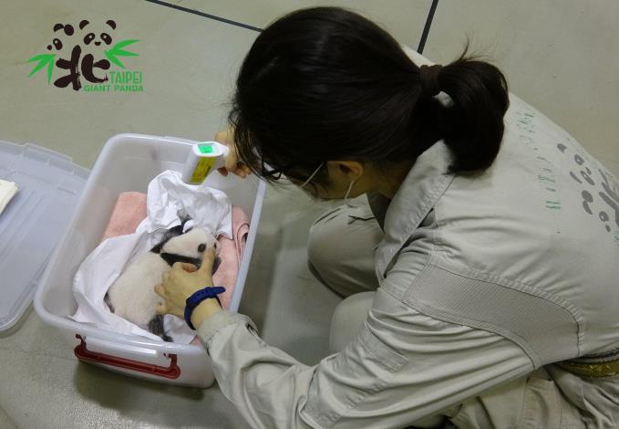 「圓仔妹」準備回到媽媽身邊,保育員為她測量體溫