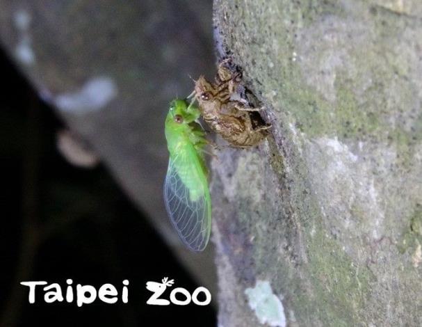 蛙調巧遇「金蟬脫殼」(薄翅蟬)
