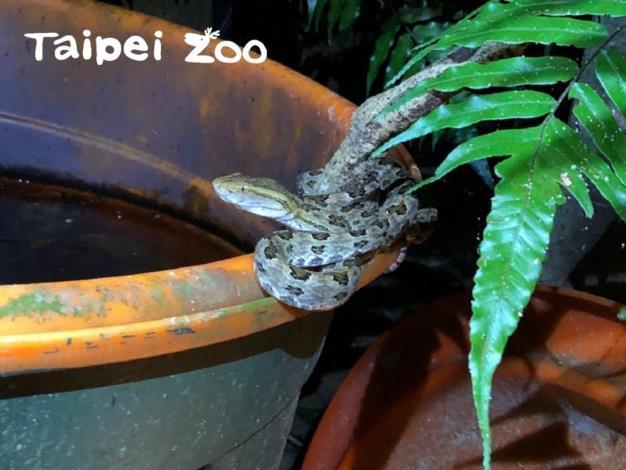 水源附近有較多生物活動,也容易有虎視眈眈準備覓食的蛇類在水桶邊出沒(龜殼花)