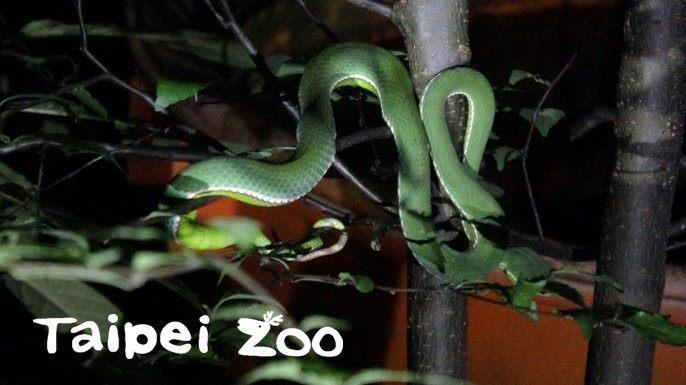研究人員在一個晚上短短兩小時內,於園內區域就能發現許多本土野生動物(赤尾青竹絲)