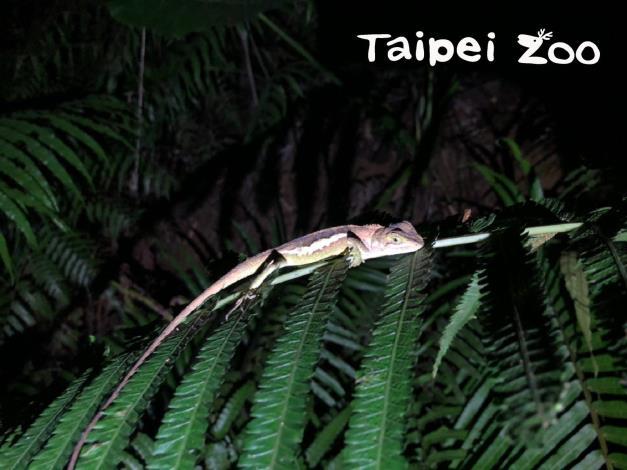 日落之後,許多動物園裡的野生動物,才正要活躍起來(攀木蜥蜴)