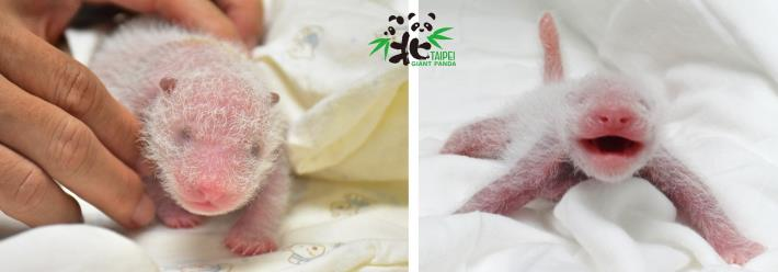大貓熊寶寶5日齡,猜猜誰是「仔仔」?誰是「柔柔」?