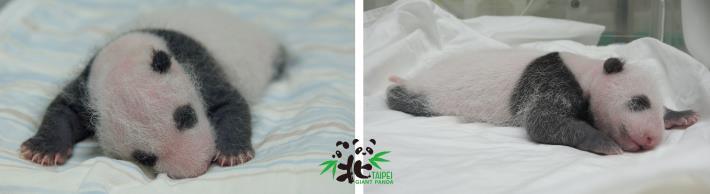大貓熊寶寶20日齡,猜猜誰是「仔仔」?誰是「柔柔」?