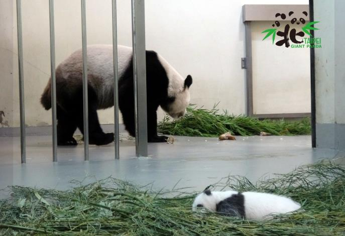 大貓熊「圓圓」:寶貝乖哦!媽媽吃個飯