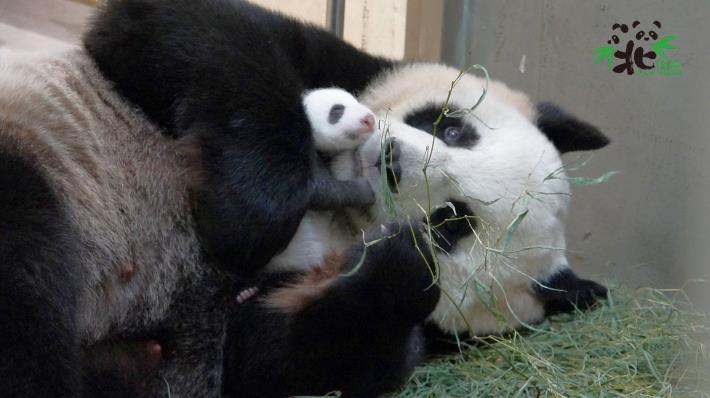 動物界內雌雄難辨的情況並不在少數(大貓熊「圓圓」和新生寶寶)