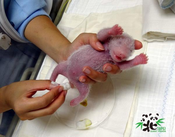大貓熊寶寶在剛出生的時候,性別特徵並不明顯