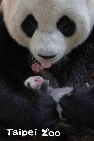 大貓熊不同於非洲野驢,長頸鹿等草食性哺乳類動物,一誕生就能輕易由生殖器外觀區分雌雄