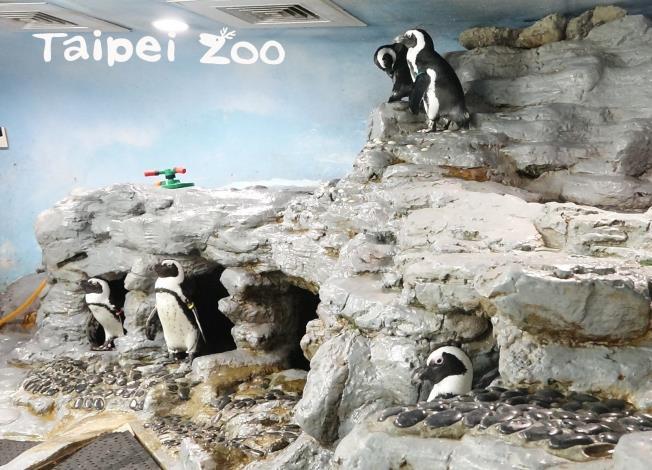 所有的黑腳企鵝都想搶奪這些「風水寶地」,住進更舒適的家