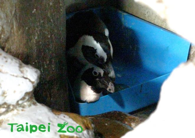保育員會提供黑腳企鵝育兒籃、石頭和毛巾等材料築巢