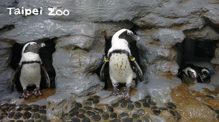 盤點動物界的爸爸們,黑腳企鵝可說是優質的模範父親