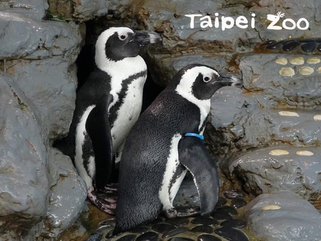 黑腳企鵝爸爸會守護自己的家園和妻小
