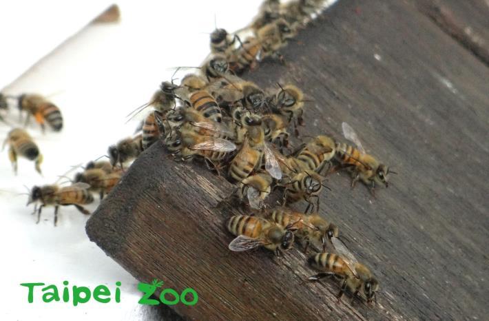 在飼養上, 很少發生蜜蜂集體攻擊人類的情況