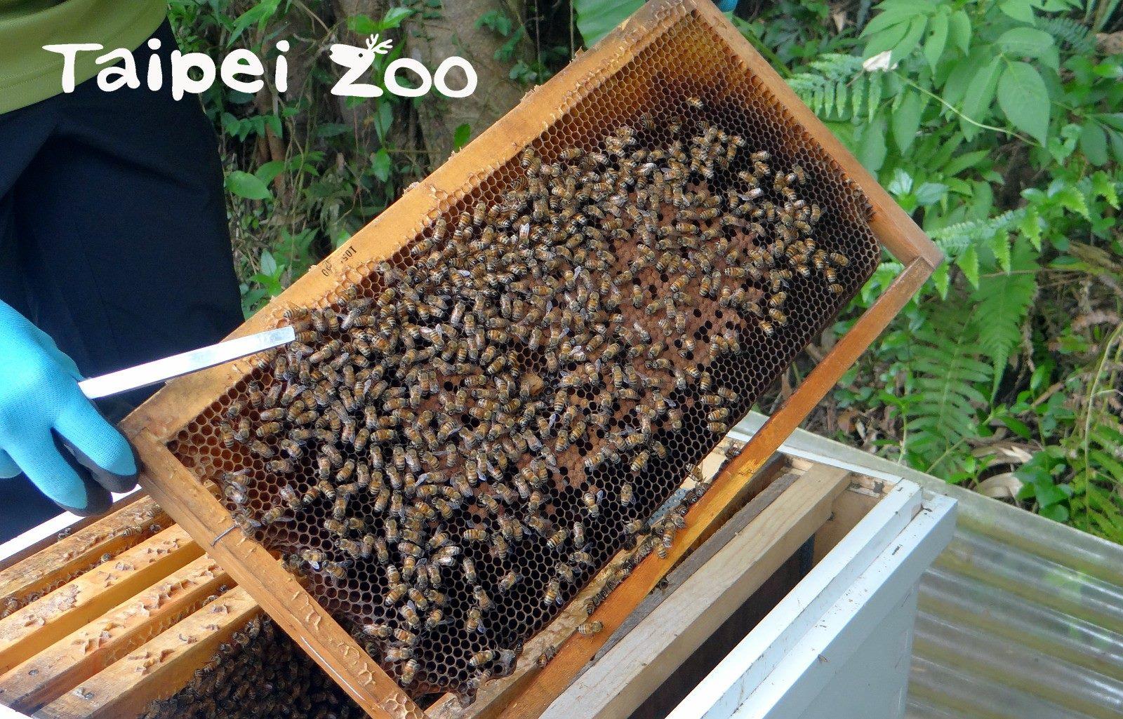 臺北市立動物園為了研究調查等需求,從三年前開始在昆蟲館周圍飼養義大利蜂