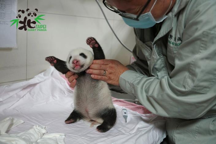 獸醫師為「圓仔妹」進行健康檢查(8月3日36日齡)
