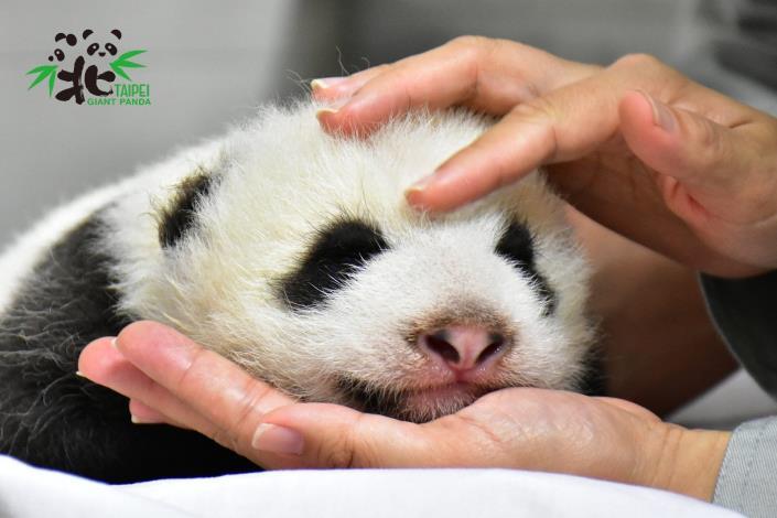 大貓熊寶寶「圓仔妹」今天是第45日齡,體重來到2,525公克(8月12日45日齡)