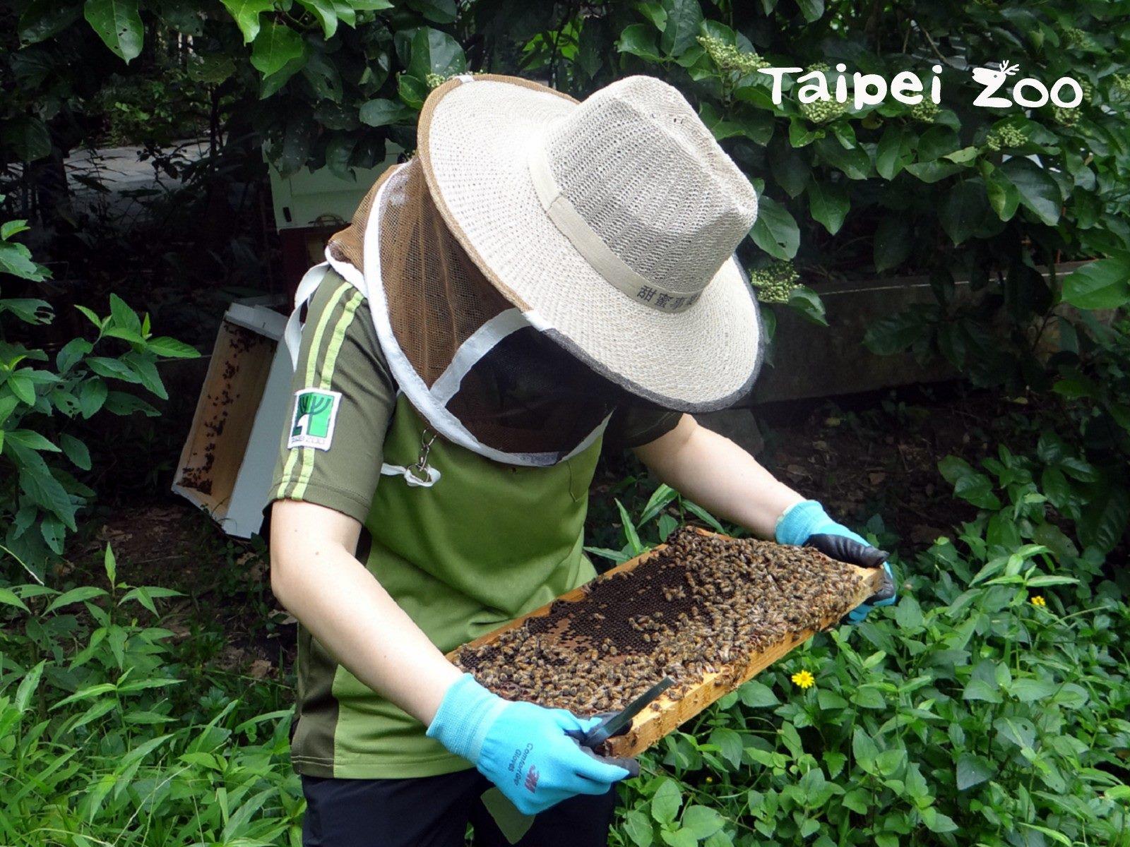 義大利蜂個性較溫馴,是許多人入門飼養的蜂類