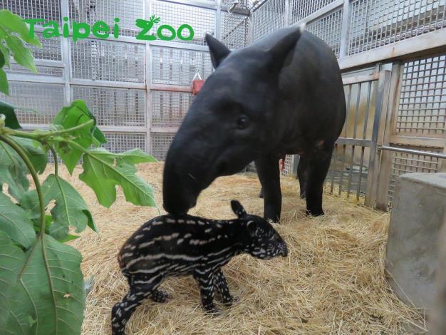 馬來貘「貘芳」順利產下一隻男寶寶,母子均安!