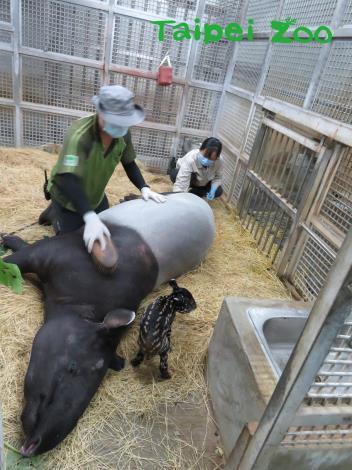 新生貘寶寶的爸爸、媽媽來頭可都不小