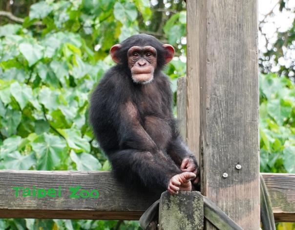 大家學會分辨「猿」與「猴」的秘訣,下次來動物園探望靈長類動物時,就不會叫錯他們囉!(黑猩猩)