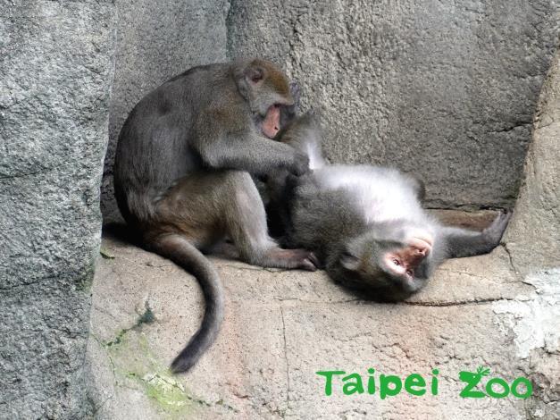 大部分的「猴」都有明顯的尾巴,可用來保持平衡