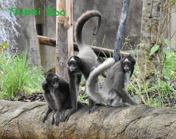 猴和猿最簡單分辨的方法就是大部分的「猴」都有尾巴(棕蜘蛛猴)