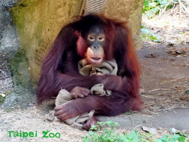 「猿」的尾巴已退化而不可見(紅毛猩猩)