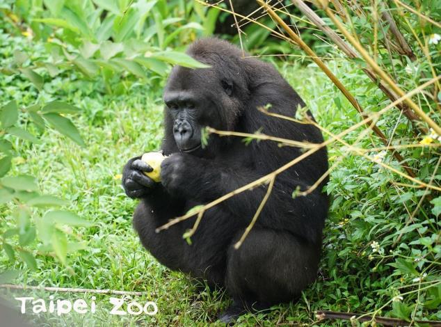 靈長目動物的腦部發展相較其他動物更為複雜,智商比一般動物高(金剛猩猩)