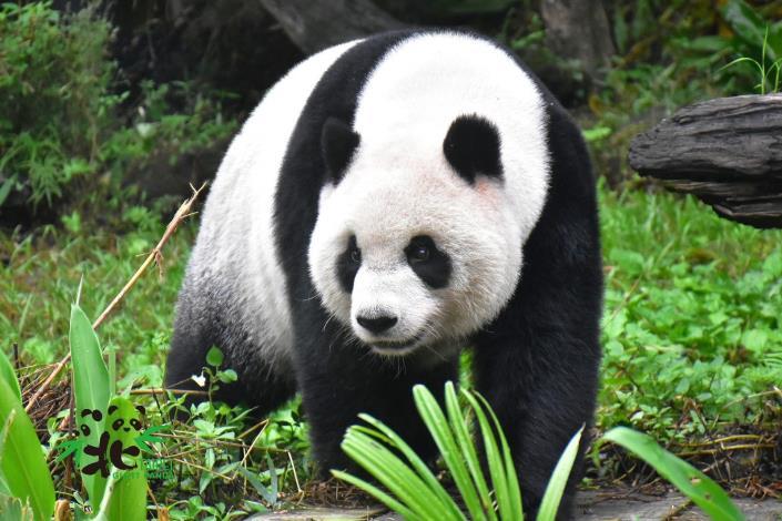 黑白色系的大貓熊較常在地面活動,尾巴很短(「圓仔」)