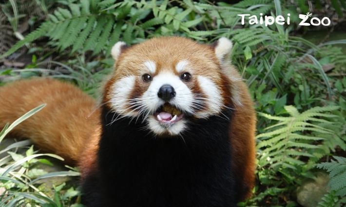 小貓熊Red panda和大貓熊Giant panda是兩個完全不同的物種