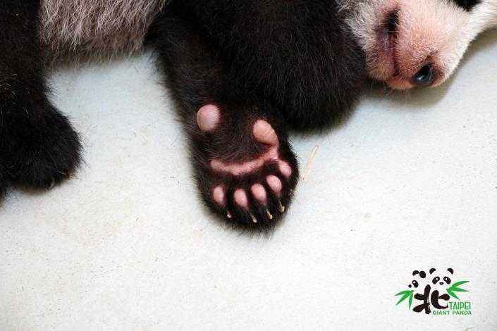大貓熊和小貓熊前掌都有特化的腕骨形成第六指或稱偽拇指(小編:好想偷摸一下!)