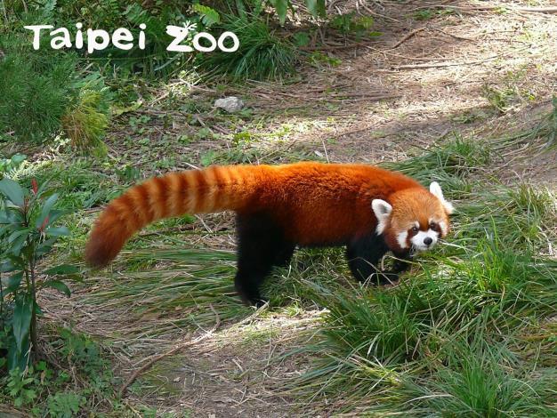 樹棲的小貓熊有長尾巴保持平衡