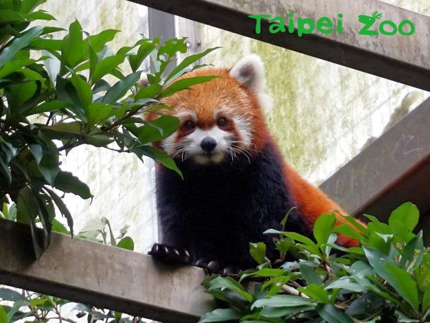 小貓熊別名紅貓熊、火狐狸,毛髮是咖啡色系,跟浣熊較有親緣關係