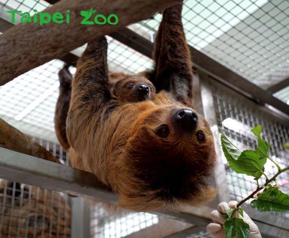 每年的10月20日為「國際樹懶日」