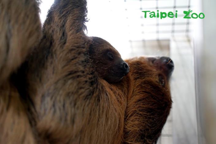 樹獺寶寶出生後,前5週幾乎都會攀附在媽媽身上,用小小的爪子緊緊抓著媽媽腹部周圍的毛