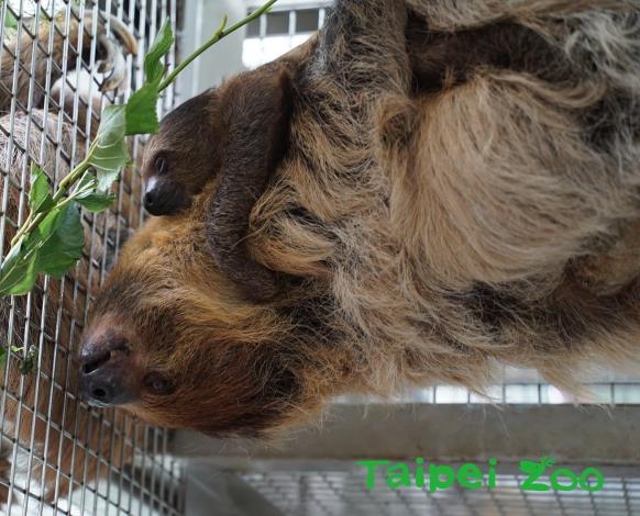 今年6月3日,二趾樹獺媽媽「樹葉」再度產下一隻小寶寶