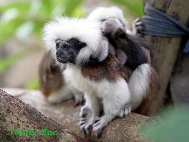 棉頭絹猴敏捷的身手,讓牠們朝點名困難排行榜第一名的寶座邁進
