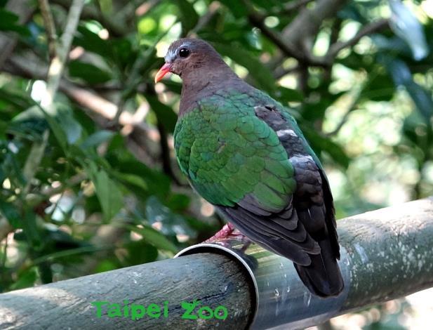 鳩鴿科的鳥類數量多,點名是一大工程(雌翠翼鳩)