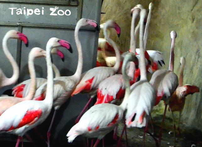 每天早上紅鶴會一隻接著一隻地排好隊伍,前往戶外活動場